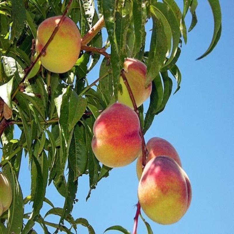 Советы повыращиванию плодовых деревьев