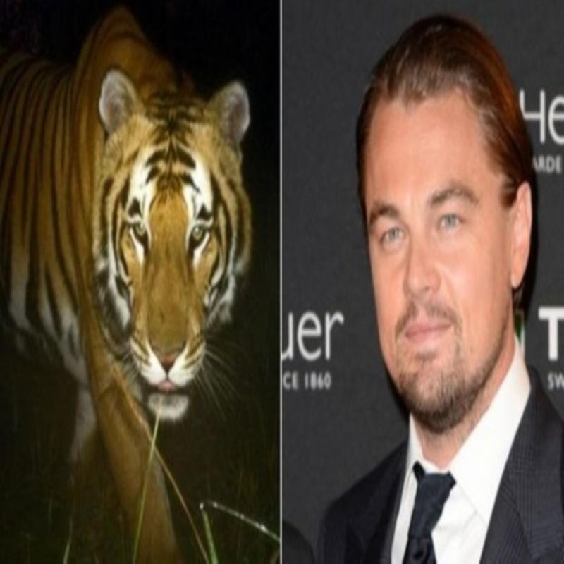 Лео Ди Каприо рад росту популяции тигров