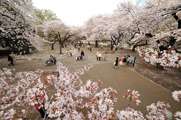Смотрим фото! В Японии зацвела сакура
