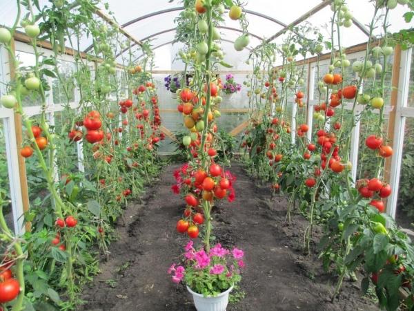 Болезни томатов втеплице. Как неостаться без урожая?
