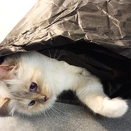 Шупетт осиротела: пользователи сети соболезнуют любимой кошке Карла Лагерфельда